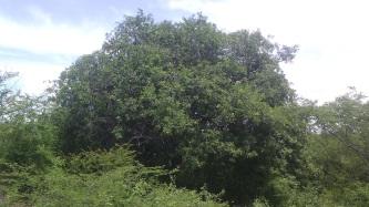 11 de Junho - O umbuzeiro é protegido por lei municipal - Brumado (BA) - 140 Anos.
