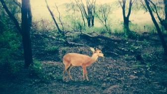 11 de Junho - O veado-da-caatinga é muito visado tanto em Brumado como em toda região, por isso há poucos exemplares - Brumado (BA) - 140 Anos.