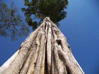 2 de Junho - Foto de uma árvore da madeira Guarantã.