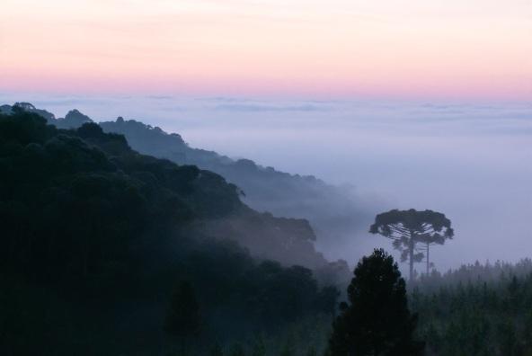 21 de Junho - Araucárias à beira de uma plantação de Pinus elliottii em Rio Bonitinho, no interior do município — Santa Cecília (SC) — 59 Anos.