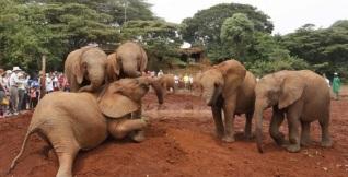 30 de Agosto — Filhotes órfãos de elefantes brincam no orfanato Daphne Sheldrick - 1973 – O Quênia bane a caça de elefantes e o comércio do marfim.
